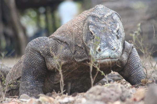 Giant Komodo Dragon - Komodo