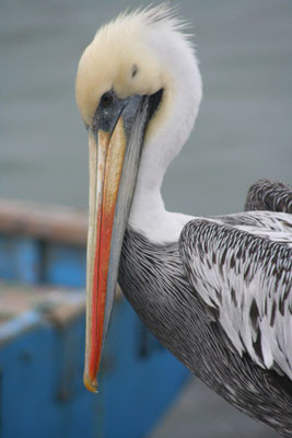 Pelican at San Andres - Pisco