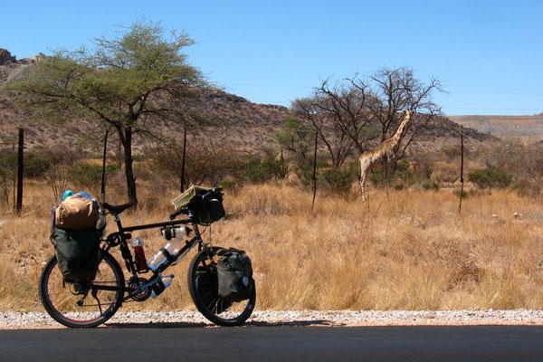 Giraffe - Kalahari Desert near Karibib
