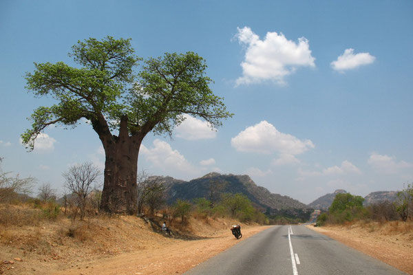 Baobab tree east of Mutoku - Northeastern Zimbabwe