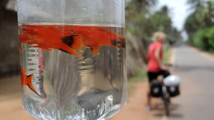 Ornamental fish for sale north of Negombo - West Coast