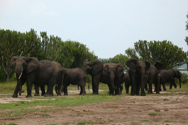 Elephants east of Katwe - Lake Edward