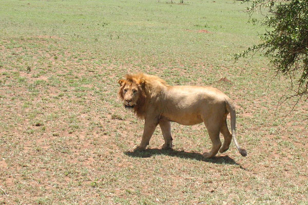 Lion at Serengeti National Park