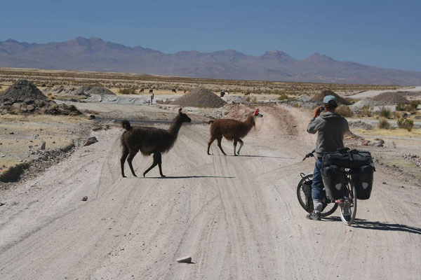 Llamas crossing the road - Altiplano