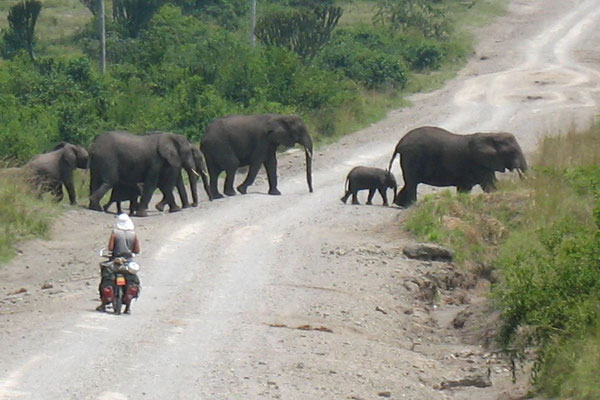 Elephants crossing the road - Lake Edward