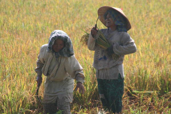 Rice harvest north of the Equator - Central Sumatra