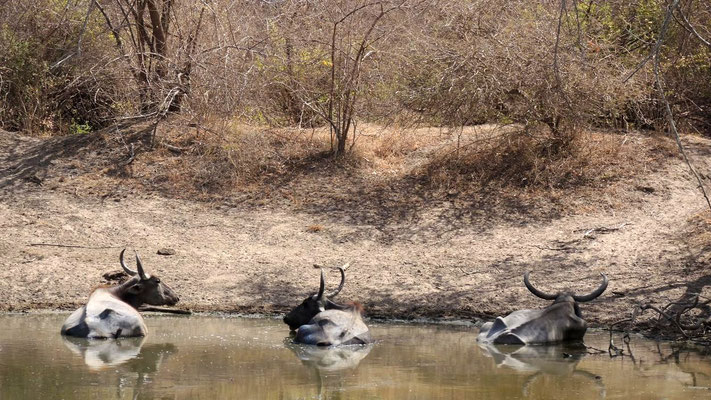 Buffaloes at Yala National Park