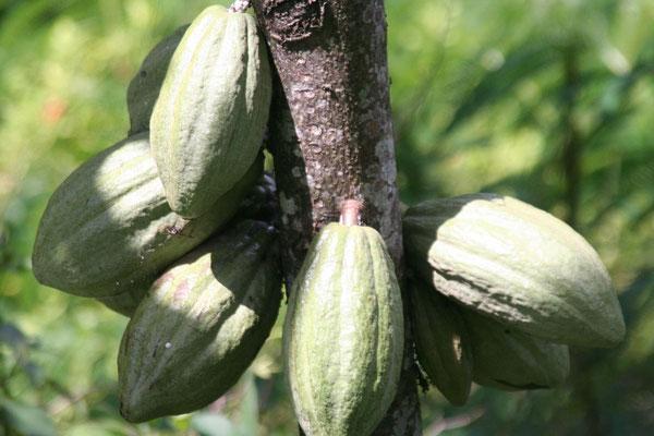 Cacao beans - Central Sumatra