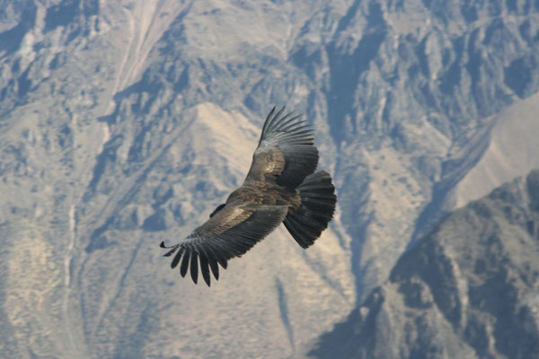 Condor at Canon de Colca - Cordillera de Chilla