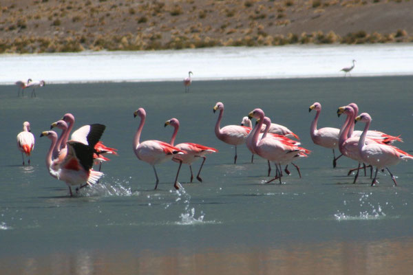 Flamingos at Laguna Canapa - Valles de Rocas