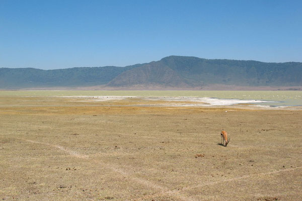 Thomson´s Gazelle - Ngorongoro Crater