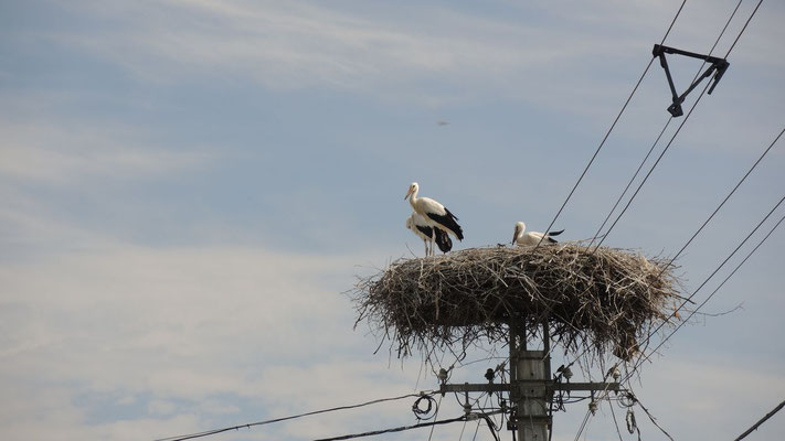 Storks - Western Hungary