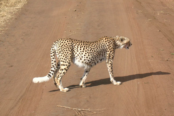Cheetah - Serengeti National Park