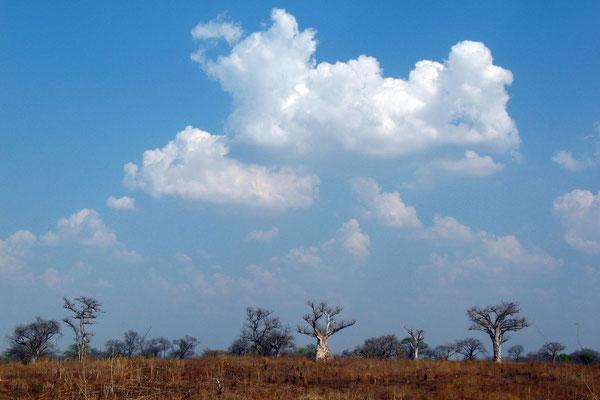 Baobab trees - Western Tete Corridor