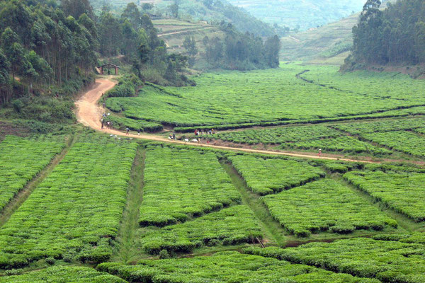Tea plantations - North of Byumba