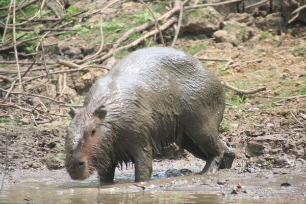 Capybara - Yacuma River
