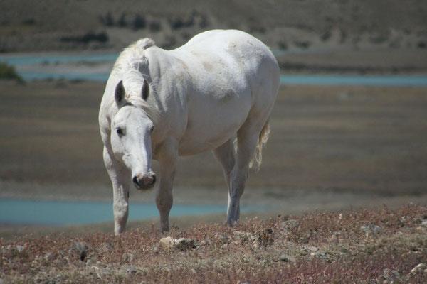 Wild horse - Santa Cruz Province