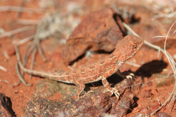 Lizard at Kata Tjuta - Northern Territory