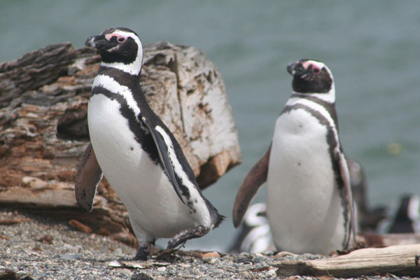 Magellanic Penguins - Otway Sound