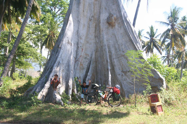 Giant tree - Eastern Lombok