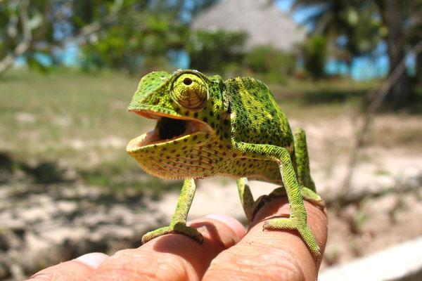 Chameleon - Uroa Beach - Zanzibar Island