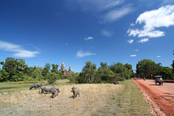 Water buffaloes at Pre Rup - Angkor