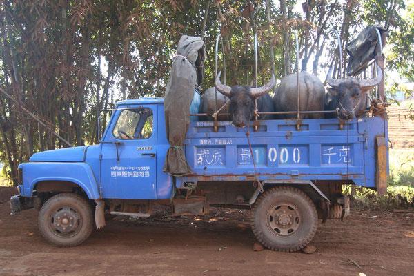 Buffaloe transport - Western Yunnan Province