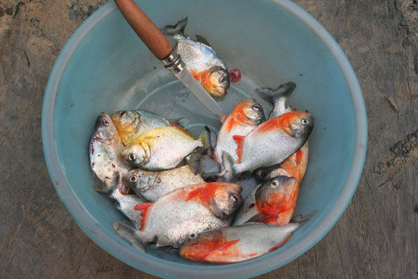 Red and yellow coloured Piranhas - Amazon Basin