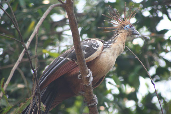 Paradise Bird - Amazon Basin