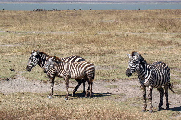 Zebras - Ngorongoro Crater