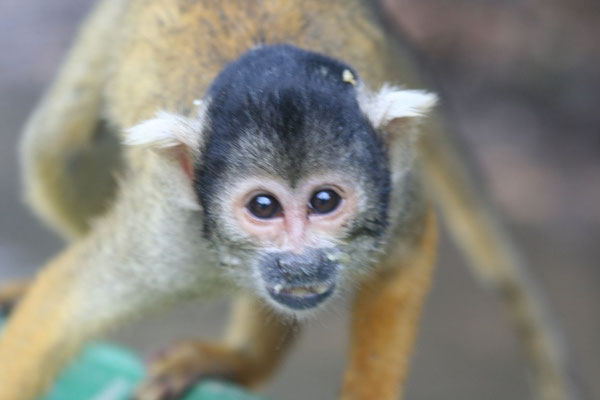 Monkey - Amazon Basin