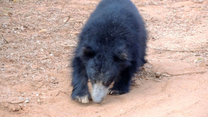 Sloth Bear at Yala National Park