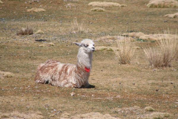 Llama - Altiplano