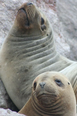 Sea lions at Islas Ballestas - Pisco - Pacific Coast