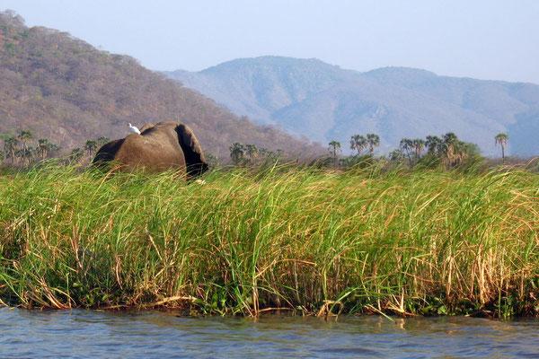 Elephant at Shire River - Liwonde National Park