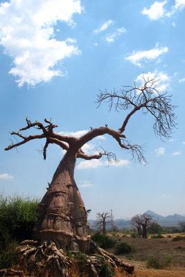 Baobab tree - Southern Malawi