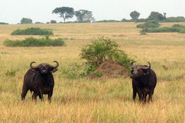 African Buffalo - Queen Elizabeth National Park