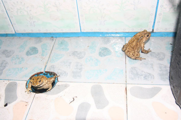 Toads in the bathroom - Takua Pa - Southwestern Thailand
