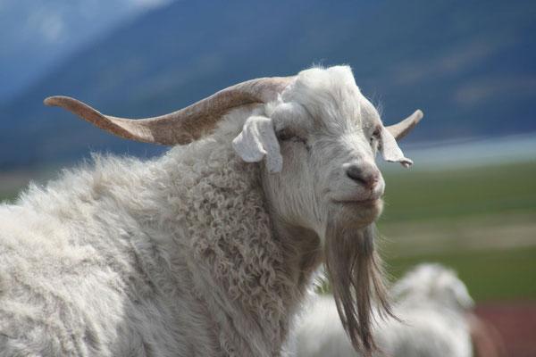 Goat - Lago Roca