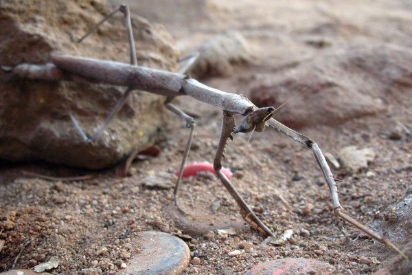 African Praying Mantis - Nyamapanda