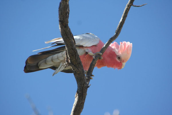 Pink Cockatoo - Northern Territory