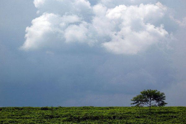 Monsoon clouds above tea plantations - Kyenjojo Province
