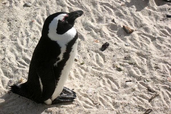 African Penguin - Boulders Beach - Simon´s Town