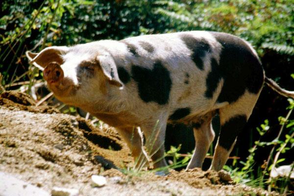 Wild pig - Central Corsica