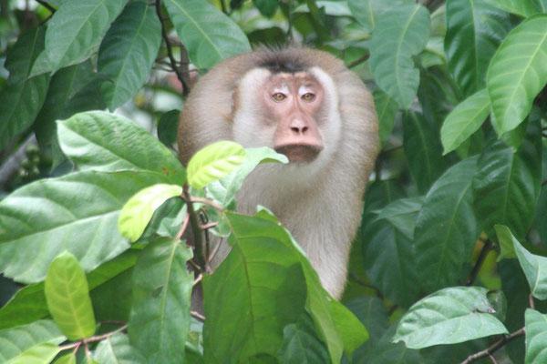 Monkey near Endau - Johor Province - Southeastern Malaysia