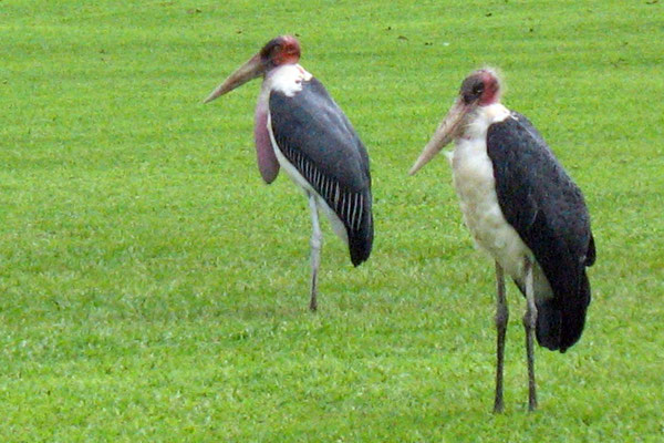 Storks - Jinja - Lake Victoria