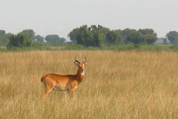 Impala - Kasese Province