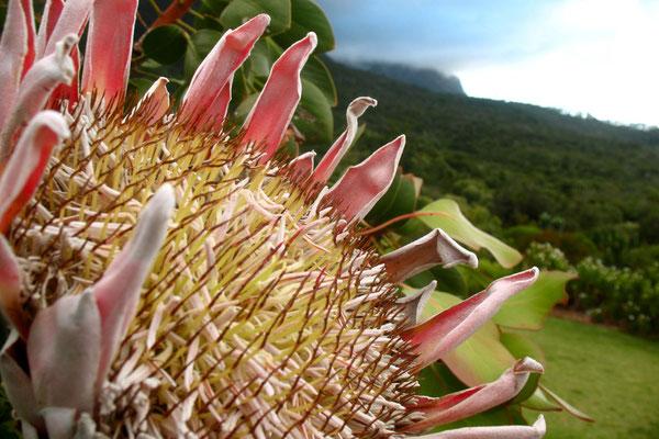 King Protea - Kirstenbosch Botanical Gardens - Cape Town