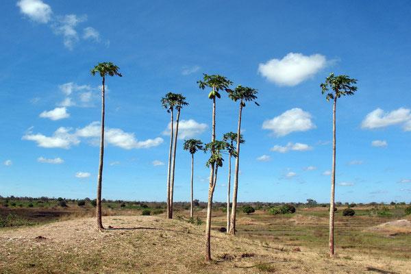 Papaya trees - Kagera Province