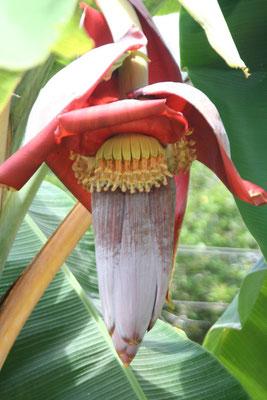 Banana plant - Central Sumatra